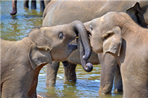 Young Elephants Pinnawala Sri Lanka  , Negombo Holiday Packages