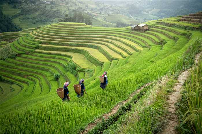 terraced rice field near Sapa, Vietnam