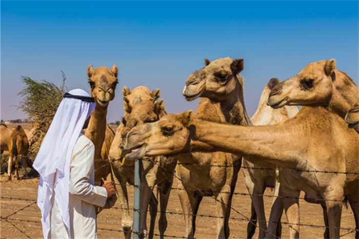 Camel Farm Dubai Desert , Best Of Mauritius And Dubai Tour