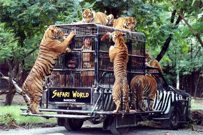 Tiger Marine Park Safari World Bangkok Thailand , Glimpse Of Thailand With Pattaya And Bangkok